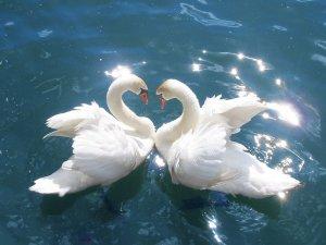00-little-pix-swans
